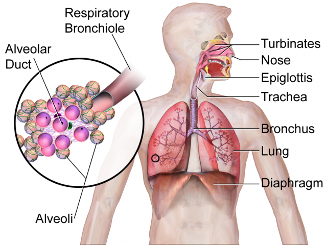 Respiratory system diagram courtesy of BruceBlaus via Wikipedia Commons